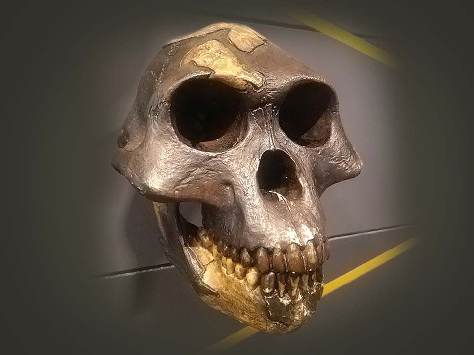 Photo of hominin skull
